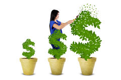 Woman maintain the money tree Royalty Free Stock Images