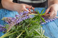 Woman make wild lupine flowers bouquet Stock Photos