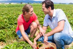 Woman and man on a pick yourself strawberry field. Woman and men on a pick yourself strawberry field being busy harvesting royalty free stock photo