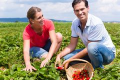 Woman and man on a pick yourself strawberry field. Woman and men on a pick yourself strawberry field being busy harvesting royalty free stock image
