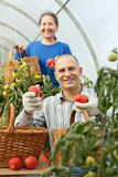 Woman and man picking tomato Stock Images
