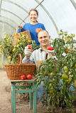 Woman and man picking tomato Royalty Free Stock Images