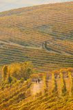 Woman and man walking in a vineyard path in autumn in Italy Stock Images