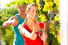 Woman and man winegrower picking grapes Stock Photo