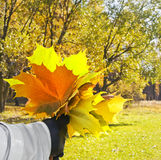 Woman with maple yellow leaves Royalty Free Stock Photography
