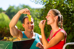 Woman and man working with grape harvesting machine Stock Photo