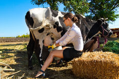 Woman milking cow. Young woman milking cow on farm stock photography