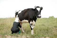 Woman milking cow. In field Royalty Free Stock Photography