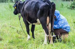 Woman milking cow. Woman milking black cow in the green meadow royalty free stock photos