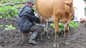 Woman milking a cow by hand stock video footage