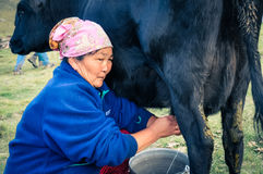 Woman during milking of cow in Kyrgyzstan Stock Photo