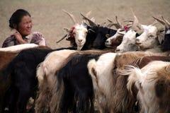 Woman milking goats Stock Photo