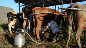 Woman milking machine cow. Milkmaid farmer woman milk cow with milking machine and take it off circa June 2013 in Livonys, Lithuania. Natural ecologic milk stock footage