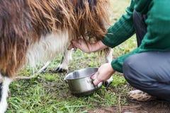 Woman milks a goat Stock Images