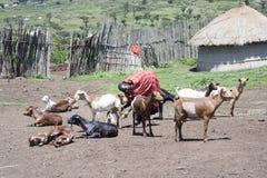 Woman millking goat,Maasi Village, Ngorongoro Conservationa Area Stock Photography