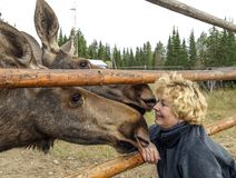 Woman and moose Stock Photography