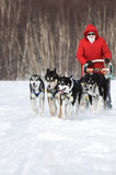 Woman musher drives dog sledding dog sled on winter forest. KAMCHATKA PENINSULA, RUSSIA - FEBRUARY 5, 2012: Woman musher in red clothes drives dog sledding dog Stock Photo