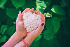 Woman with nailed nails holding flowers of white hydrangea Stock Images