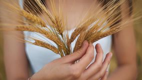 The woman in a national white shirt holds in hand the ripened wheat ears on a gold field background. harvest stock video footage