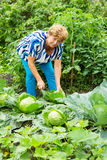 Woman near the beds of cabbage Stock Photography
