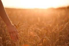 Woman& x27; oídos del trigo del tacto de la mano de s en la puesta del sol Imagen de archivo libre de regalías