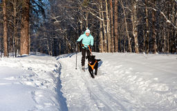 Woman On Ski Is Going For A Running Dog. Stock Photography