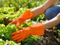 Woman in orange gloves working in the garden Stock Photo