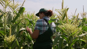 Woman in overalls walking in the field of corn stock video footage