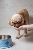 Woman owner feeding dog with hands in home Royalty Free Stock Images