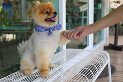 Woman owner give shake hand with small pomeranian dog cute pets. Friendly royalty free stock photo