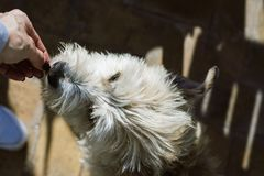 Woman owners hand  ,feeding the white dog.  Royalty Free Stock Photos