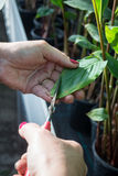 Woman with Painted Nails Snipping a Leaf in Plant Nursery Royalty Free Stock Images