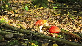 Woman passes away at fly agaric mushrooms. And collecting mushrooms stock footage