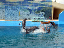 Woman passing trough the circle. Dolphins show in the national aquarium in cuba Stock Photos