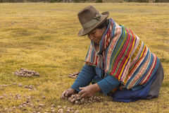 Woman peasant collecting moraya potatoes Chincheros Cuzco Peru Stock Photos