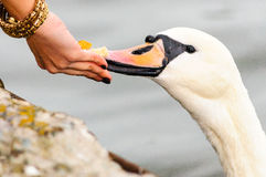 Woman person people hand feeding swan bird care Stock Photography