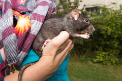 Woman with a pet rat in the garden Stock Images