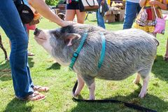 Woman Pets Friendly Pig On Leash At Festival Stock Photo