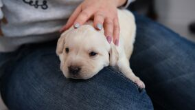 Woman Petting Cute Labrador Puppy on her Knees