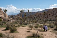 Woman photographer kneels to take photos of a cholla cactus in Joshua Tree National Park, wearing casual clothing royalty free stock photography