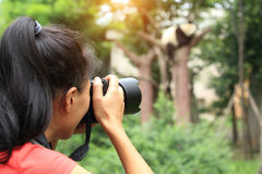 Woman photographer taking photo of panda. Young woman photographer taking photo of panda Royalty Free Stock Images