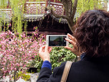 Woman photographing cherry blossoms with cellphone in Chinese garden Stock Photos