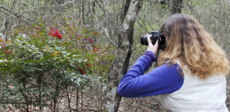 A Woman Photographs Red Berries, Cedar Ridge Preserve Stock Photo