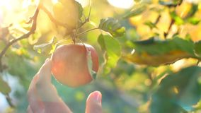 Woman Pick an Apple. Woman in garden collects apples stock video