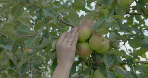 Woman Pick an Apples from the tree. Woman Pick an Apples from the tree stock footage