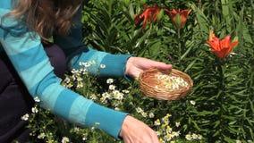 Woman pick organic camomile in garden, domestic medicines stock footage