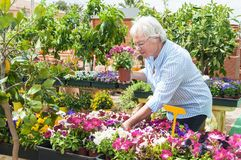 Woman pick out  potted flowers at garden center. Garden centre senior lady hold potted flowers Royalty Free Stock Photography