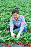 Woman pick strawberry Royalty Free Stock Photography