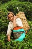 Woman pick tea leafs, Darjeeling, India stock photography