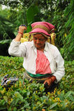 Woman pick tea leafs, Darjeeling, India stock images